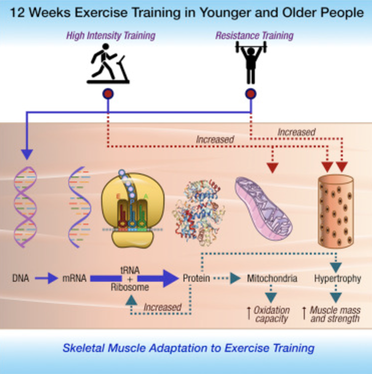 Science finds a new correlations between anti aging and HIIT Training